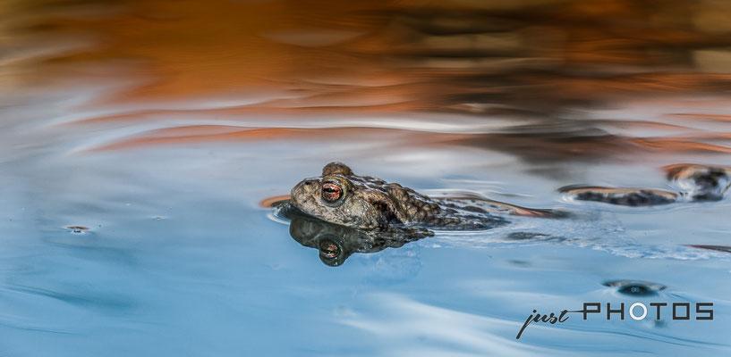 Erdkröte - Männchen im Wasser (schwimmend) | Bufo bufo