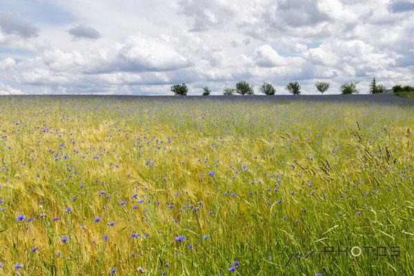 Landschaft - Wiese mit Kornblumenfeld