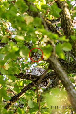 Waldkauz attackiert von Eichelhäher (Hassen)