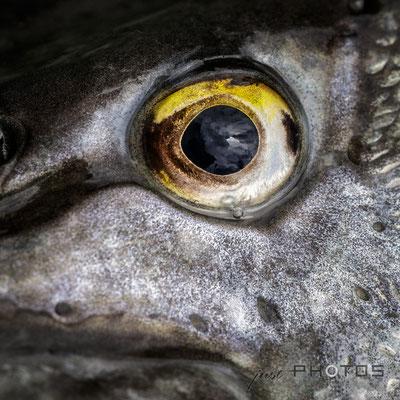 Hecht-Auge [ Esox lucius ]