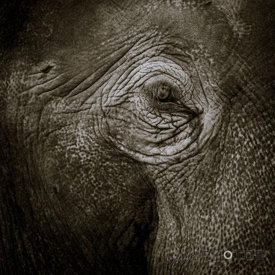 Elefant - Auge | Schwarz-Weiß [ Elephas maximus indicus ]