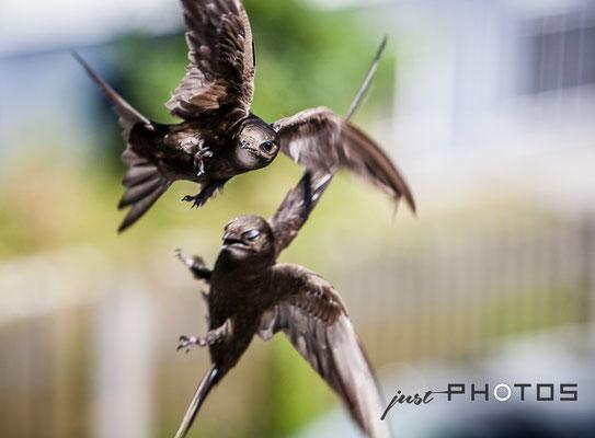 Mauersegler (Paar) im Flug | Apus apus