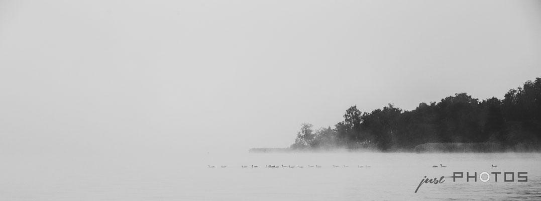 Graugänse im Nebel am Wörthsee vor der Mausinsel (Schwarzweiss)