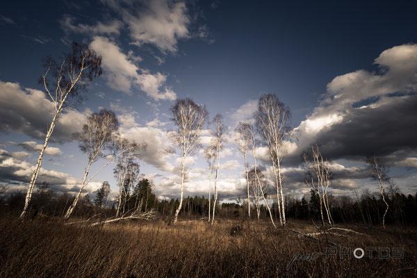 Waldlichtung mit Birken (stehende Birken und vom Sturm gefällte) - im Hintergrund Himmel mit Wolkenstimmung