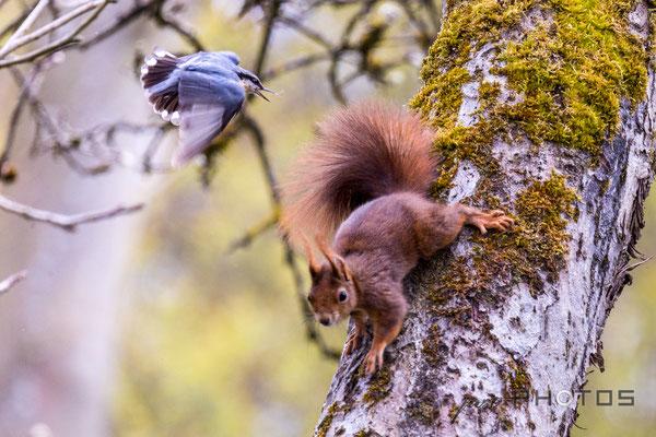 Kleiber attackiert Eichhörnchen, das dem Nest zu nahe gekommen ist