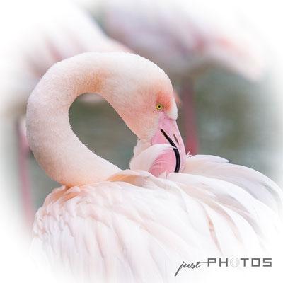 Rosa Flamingo - Kopf mit Schnabel im Gefieder [ Phoenicopterus roseus ]