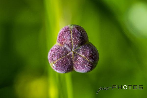 Schachbrettblume  (Schachblume) - Samenkapsel [ Fritillaria meleagris ]