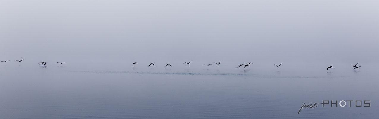 Knapp über der Wasserobefläche fliegende Graugänse am Wörthsee