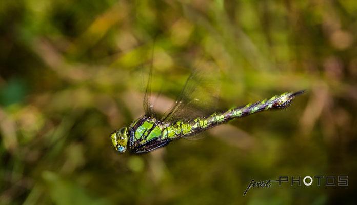 Blaugrüne Mosaikjungfer (Weibchen)  im Flug [ Weibchen Aeshana cyanea ]