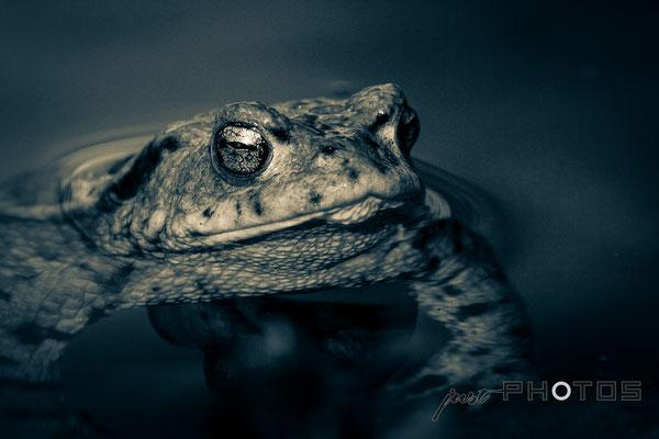 Erdkröte - Männchen | Schwarz-Weiß bzw. Farbtönung [ Bufo bufo ]