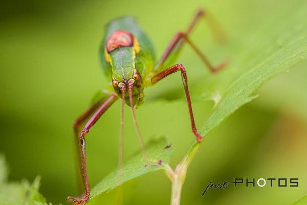 Laubholz-Säbelschrecke  (Männchen) |  Barbitistes serricauda