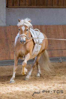 Voltigierpferd (Haflinger) des RVC Gilching an der Longe im Galopp