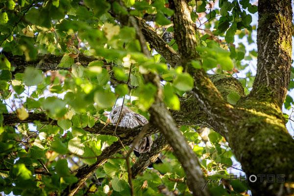 Waldkauz in Baumkrone einer Linde