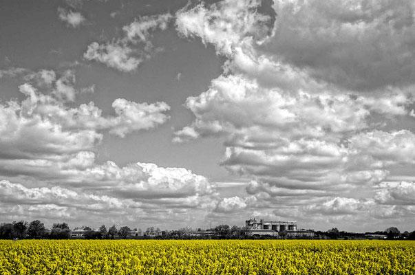 Kopie sw, Rapsfeld in gelb