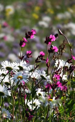 Blumenwiese bei Bensen