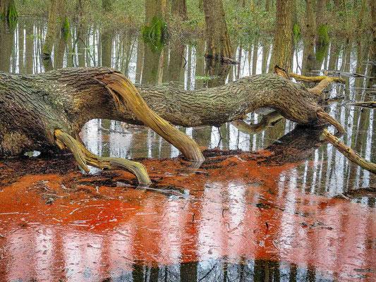 Blutender Baum im Hunteholz