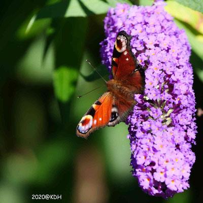 Der Sommerflieder zieht Schmetterlinge magisch an
