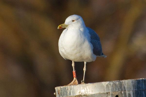 Diese Steppenmöwe wurde am 20. Juni 1999 als Jungvogel, etwas nördlich von Minsk (Weissrussland) beringt. Kreuzlingen 4. Dezember 2010