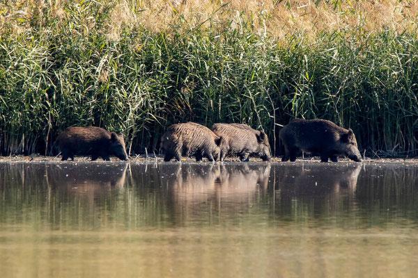 Wildschweine, Klingnauerstausee, 17. 10. 2019