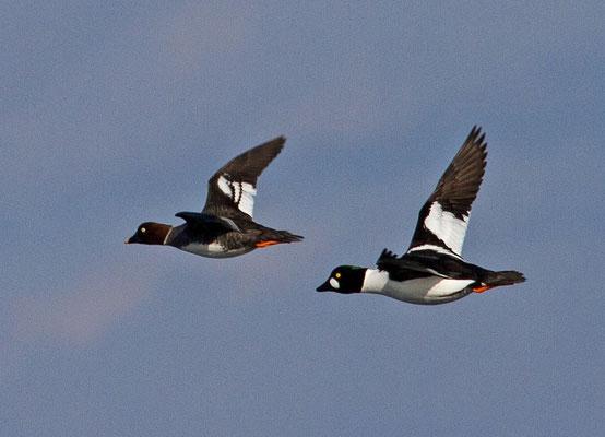 Schellente Paar im Flug, Bodensee 22. 2. 2014