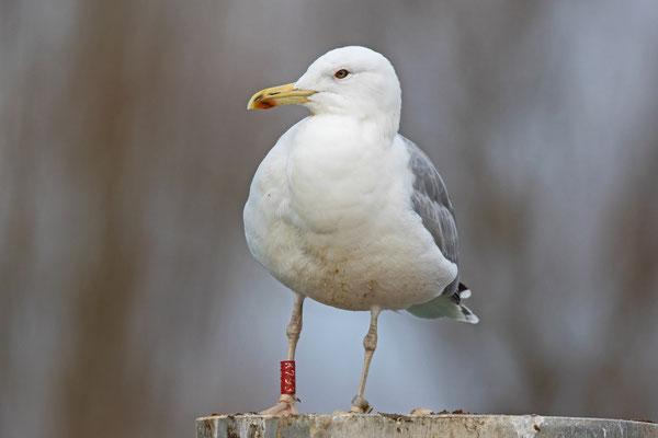 Diese Steppenmöwe wurde am 20. Juni 1999 als Jungvogel, etwas nördlich von Minsk (Weissrussland) beringt, gut 1500km entfernt. Kreuzlingen 25. Dezember 2016