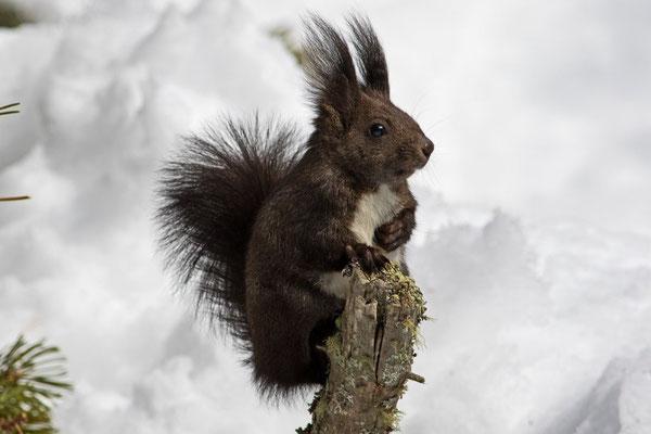 Eichhörnchen, St. Moritz, 11. März 2016