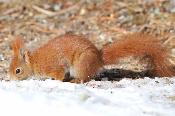 Eichhörnchen, Stazerwald St. Moritz, 9. März 2018