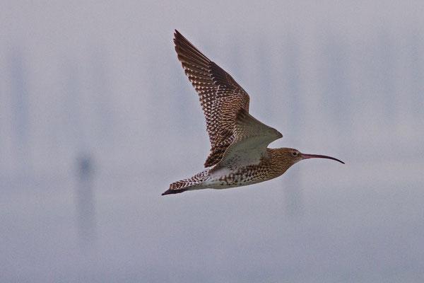 Grosser Brachvogel, Ermatingerbecken, 1. 1. 2015
