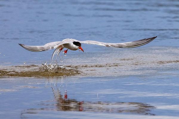 Flussseeschwalbe, Neeracherried ZH