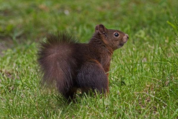 Eichhörnchen, Sils Maria, 27. Juni 2015