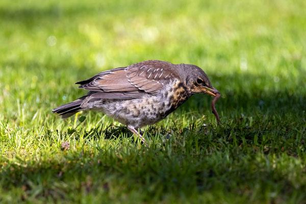Wacholderdrossel Jungvogel