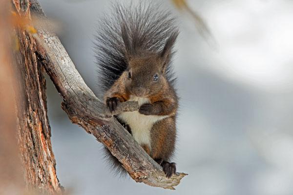 März 2018, Eichhörnchen