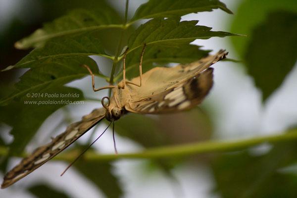 La farfalla dalla lingua lunga