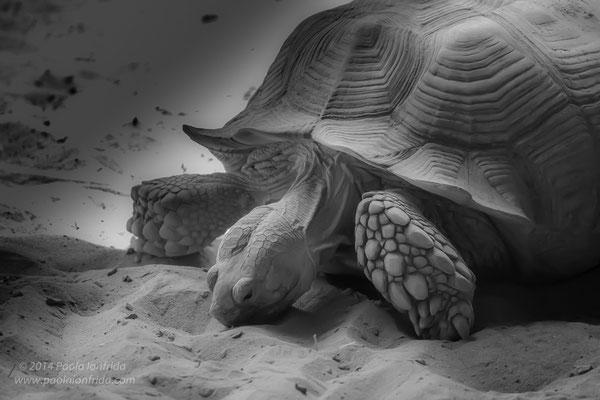 Tartaruga del deserto