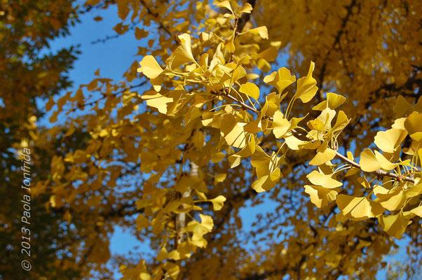 Ginko Biloba in autunno