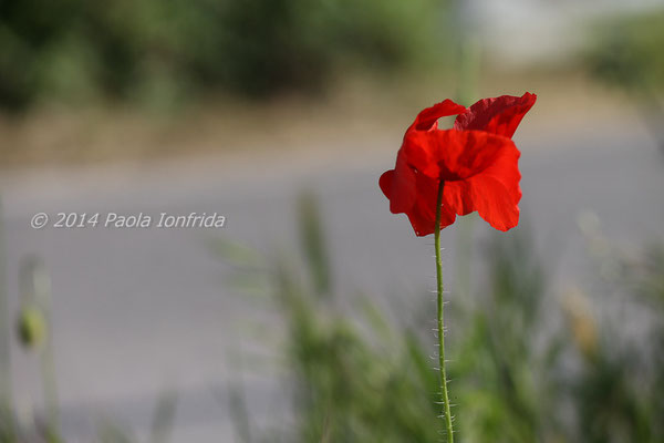 Papavero rosso sul ciglio della strada