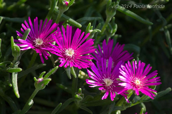 Fucsia flowers