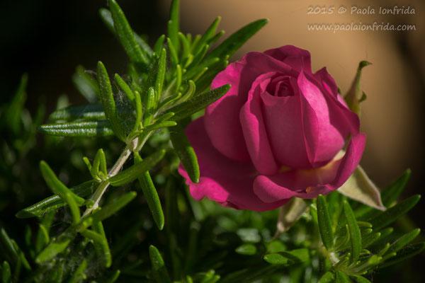 Rosa rosmarino