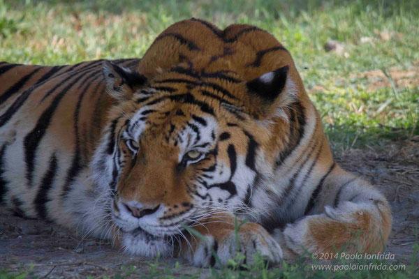Il pensiero della tigre