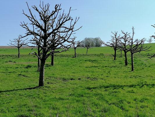 Musterbeispiel dafür, wie man Obstbäume NICHT(!) schneidet