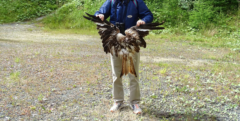 _Fotos_: Archiv Naturschutzinitiative e.V. (NI), Getötete Rotmilane unter Windindustrieanlagen