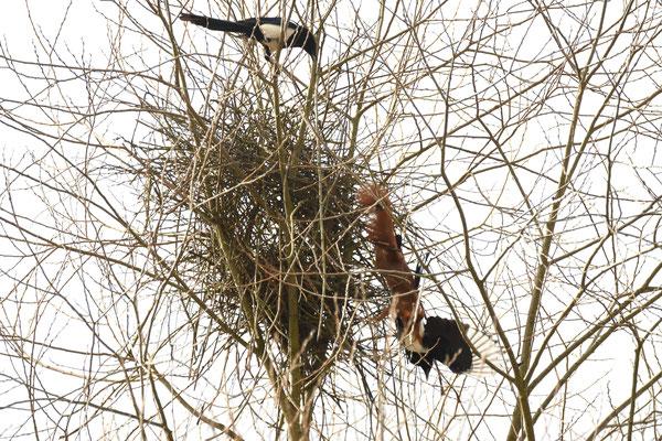 ... und versuchen das Eichhörnchen vom Nest fernzuhalten.