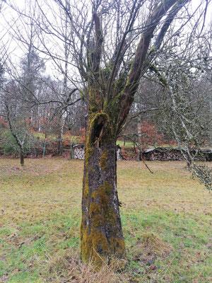 Achzigjährige Apfelbaumruine, Lebensraum für Vögel und Säugetiere