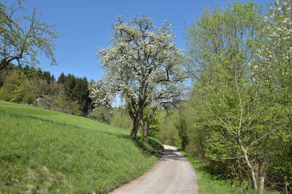 Über 100-Jahre alte, landschaftsprägende Birnbäume