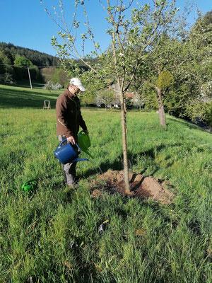 Speziell Jungbäume müssen die ersten Jahre immer wieder mit Wasser versorgt werden. 50-70 Liter pro Baum sollten es schon sein