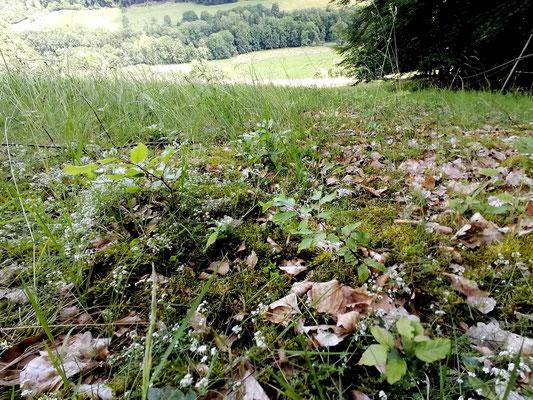 Speziell auf Wiesen, die am Waldrand gelegen sind, breitet sich der Wald langsam aus, wenn nicht regelmäßig gemäht oder beweidet wird. Hier junge Buchen und Eichen.