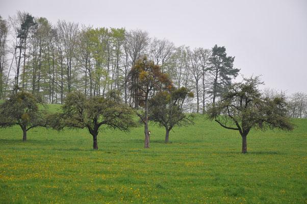 Kaum einer dieser Bäume wird die nächsten 10 Jahre überleben. Der Mistelbefall ist mittlerweile zu weit fortgeschritten