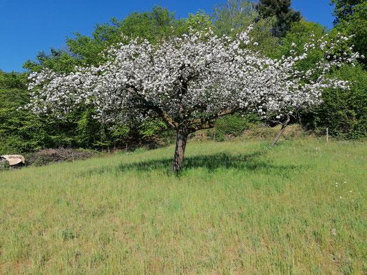 Blühender Apfelbaum gegen Ende des Monats April