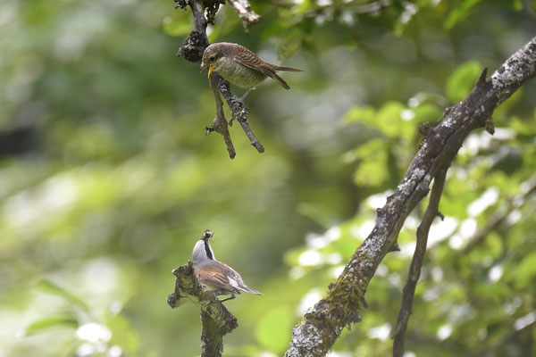 Neuntöter: Altvogel füttert Jungvogel