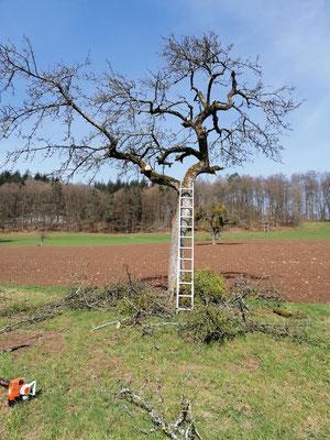 Die durch die Schnittmaßnahme verursachten Wunden am Baum sind groß. Doch nur so hat er überhaupt eine Überlebenschance. Deshalb müssen Misteln frühzeitig zurückgeschnitten werden.